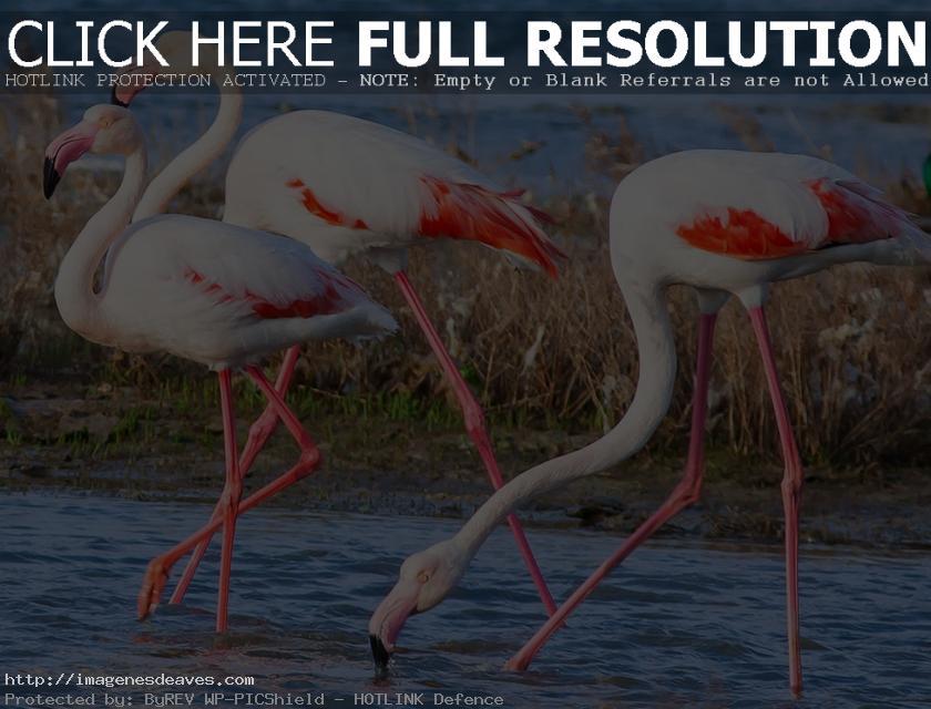 Imagen espectaculares flamencos rosados