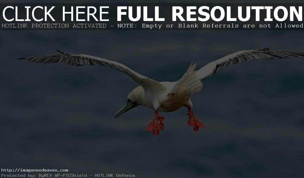 Imagen de ave marina bobo de patas rojas volando sobre el mar