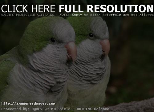 Imagenes de una pareja de loritos